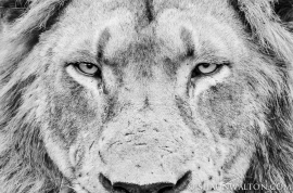 shaun_walton_photography_male_lion_stare